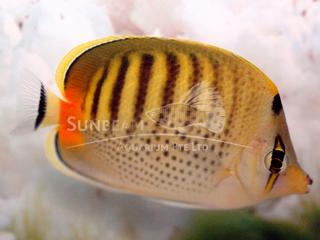 spot-band butterfly