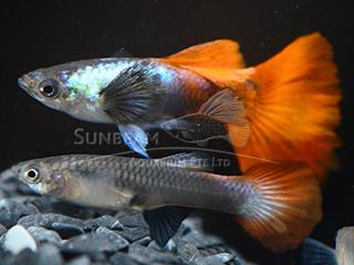 red sapphire dumbo guppy pair