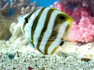 ocellate coralfish