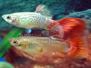 red snakeskin guppy