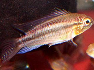 2 Stripe Dwarf Cichlid