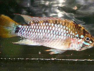 Blue Diamond Apist Cichlid PAir
