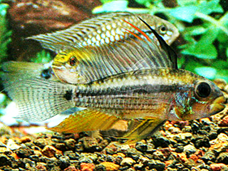 Black Chin Dwarf Cichlid Pair