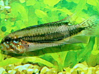 Double Banded Apistogramma Cichlid PAir