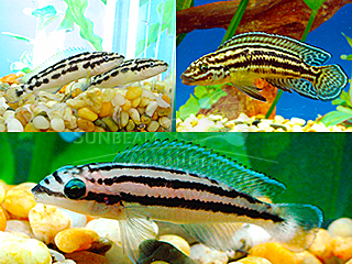 Assorted Julie Cichlid