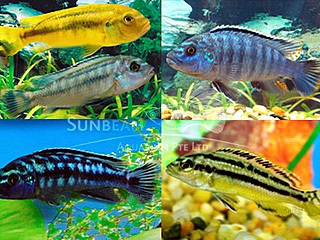 Assorted Melanochromis