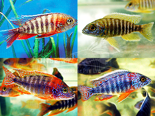 Assorted Peacock CICHLID