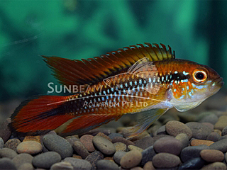 Agassizii Double Red PAir