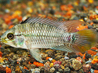 Blue Cheek Dwarf Cichlid Pair