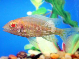 Peacock GOLD RED EYE Cichlid