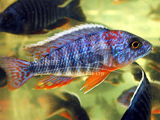 Peacock Blue Cichlid