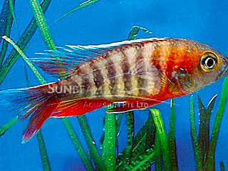 Freiberg's Peacock Cichlid