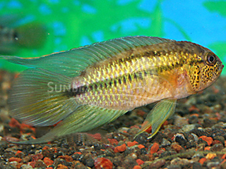 Gold head nanacara Cichlid pair