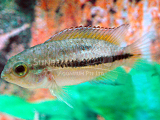 Golden Eye Dwarf Cichlid PAir