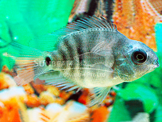 Parrot No Colour Cichlid