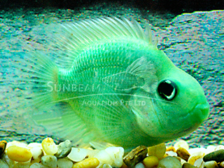 Parrot Green Cichlid