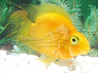Parrot Yellow Cichlid