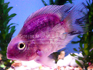 Parrot Dark Purple Cichlid