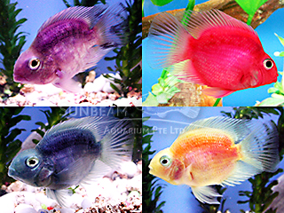 Parrot Assorted Cichlid