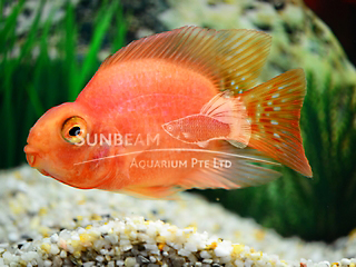 Parrot red Cichlid