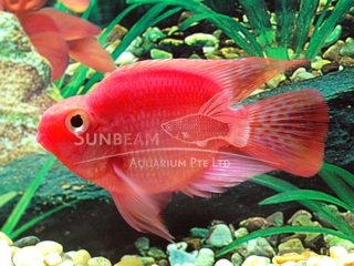 Parrot Purple Cichlid