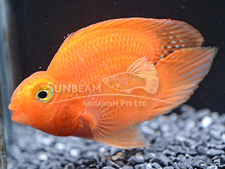 Parrot Blood V-Tail Cichlid
