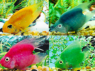 Parrot Assorted Heart Cichlid