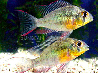 Clown Ruby Cichlid