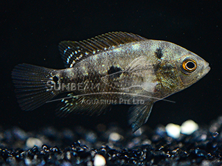 White Angel King Flower Horn Cichlid