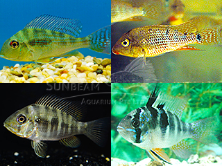 Assorted Geophagus Cichlid