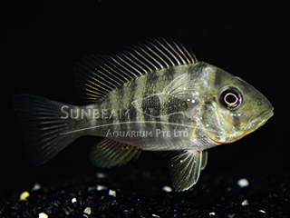 Paraguay Mouthbrooder Cichlid