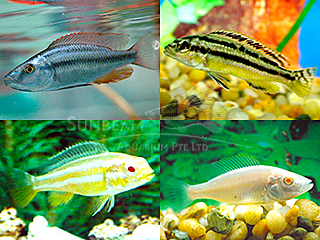 Assorted Malawi Cichlid