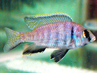 Deep Water Hap Cichlid