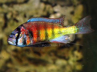 Cherry Red Hap Cichlid