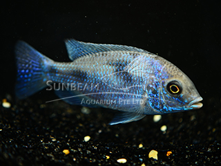 Blue Humphead Cichlid