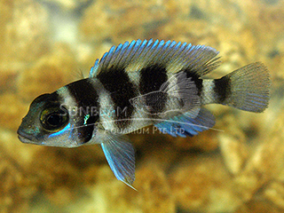 Five-bar Cichlid