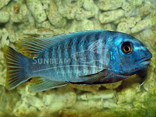 Fuelleborn's Cichlid