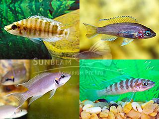 Mixed Lamprologus Cichlid