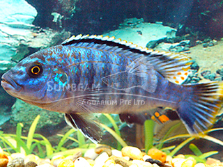 Orange Lined Cichlid