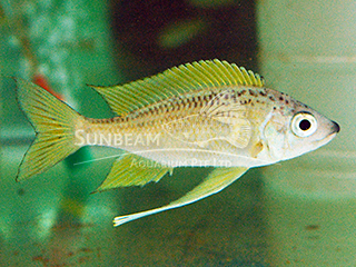 Long Nose Gold Tip 'Ndole Bay' Cichlid