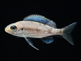 Blue Gold Tip 'Kalambo' Cichlid