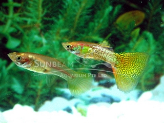 golden snakeskin guppy