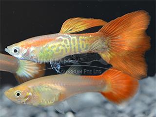 snakeskin Red Gold guppy pair