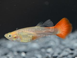 snakeskin Red Gold female guppy