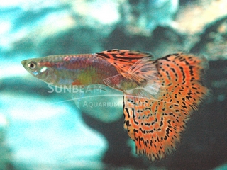 red spotted variegated guppy