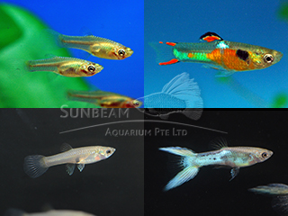 endler assorted guppy pair