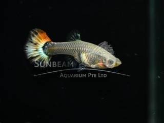 red tail female guppy