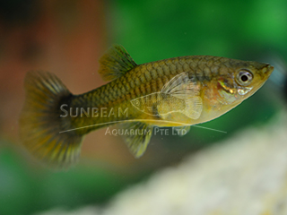 half black red tail female guppy