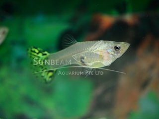green tail female guppy