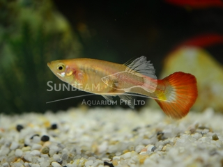 blonde red tail female guppy